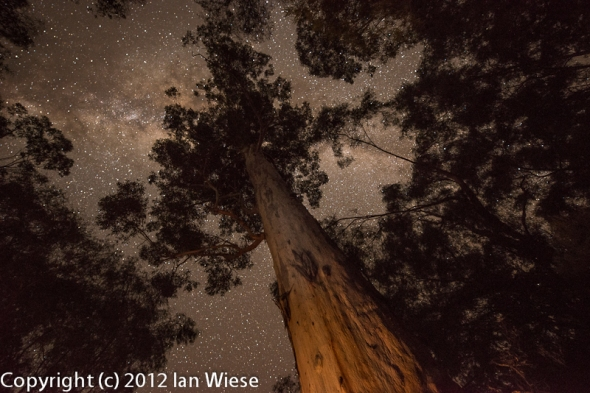 Night Sky in a Karri forest
